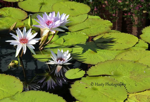 Water Lillies on pond